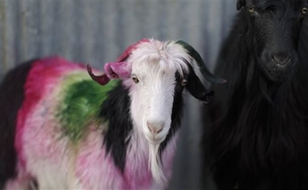 colored goat