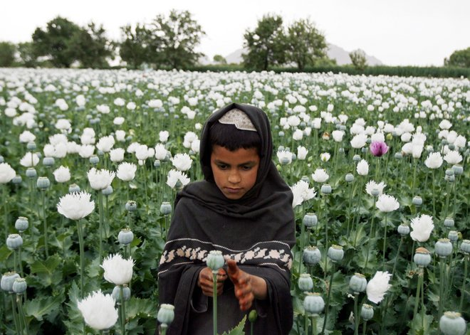An Afghan boy works in a poppy field in Musa Qala