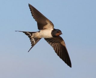 Sky Is the Nest of Swallows