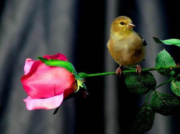 bird with rose