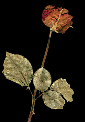 dried rose