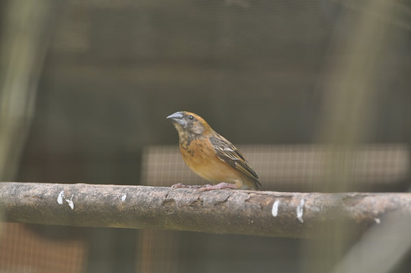 Eurasian-sparrow-in-cage