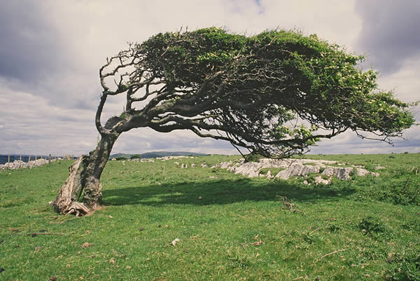 windblown-tree