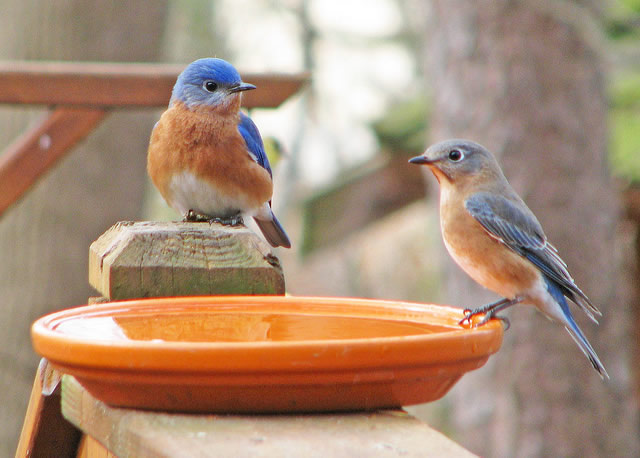 two-eastern-bluebirds
