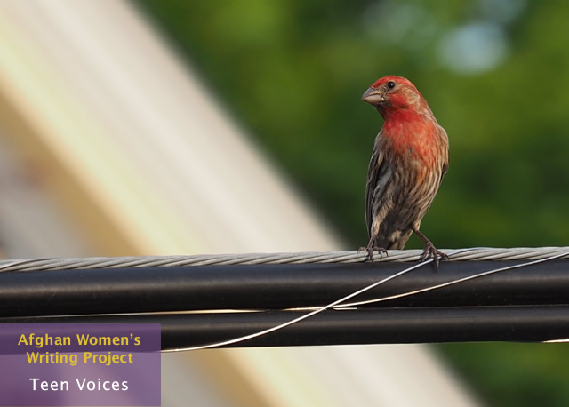red-house-finch